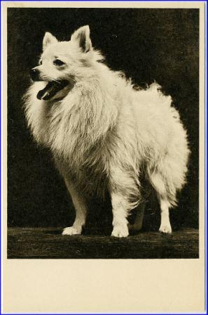 Hund Spitz