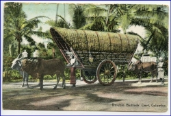 Ceylon, Sri Lanka, Colombo, Double Bullock Cart, gel. 1913